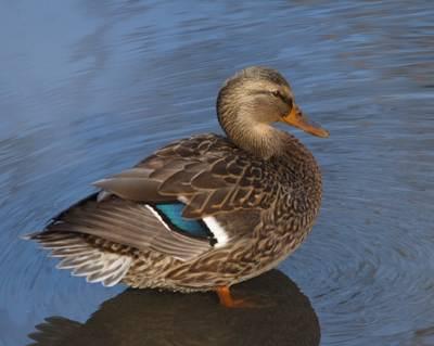 Oiseaux aquatiques bruns for Couleur du canard