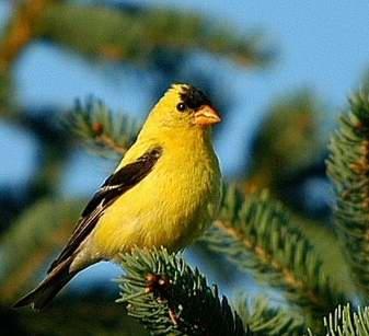 Petits oiseaux jaunes for Oiseau noir bec jaune