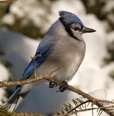 http://www.oiseauxparlacouleur.com/I/Geai_bleu-j.jpg