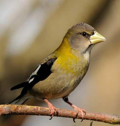 Oiseaux gris for Oiseau noir bec jaune
