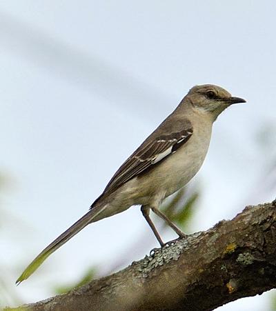 un oiseau Martin 06 Novembre trouvé par Martine Moqueur_polyglotte1