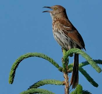Oiseaux roux ou marrons for Oiseau longue queue ventre jaune