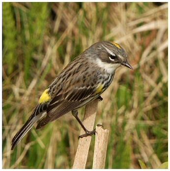 Oiseaux jaunes for Petit oiseau gris