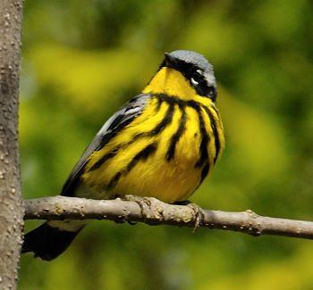 Paruline a tete jaune for Oiseau jaune et noir